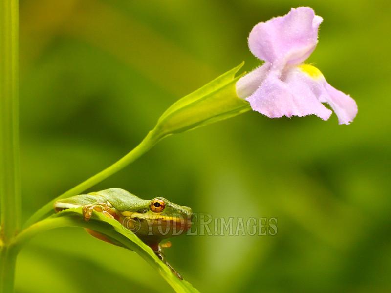 American Green Treefrog (Hyla cinerea)