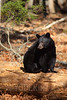 Female Black Bear (Ursus americanus)