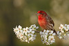 Male House Finch (Haemorhous mexicanus)