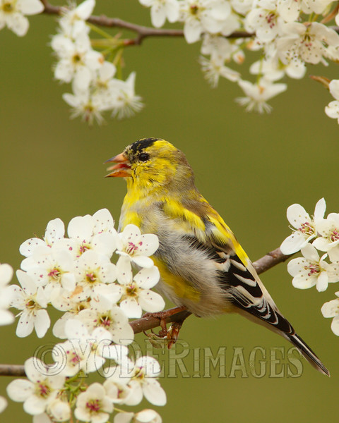 Male American Goldfinch (Spinus tristis) - Molting into Breeding Plumage