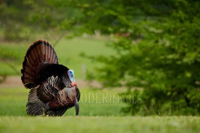 Male Wild Turkey (Meleagris gallopavo)