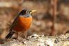 American Robin (Turdus migratorius)<br /> Tennessee Wildlife Magazine, Winter 2014-2015