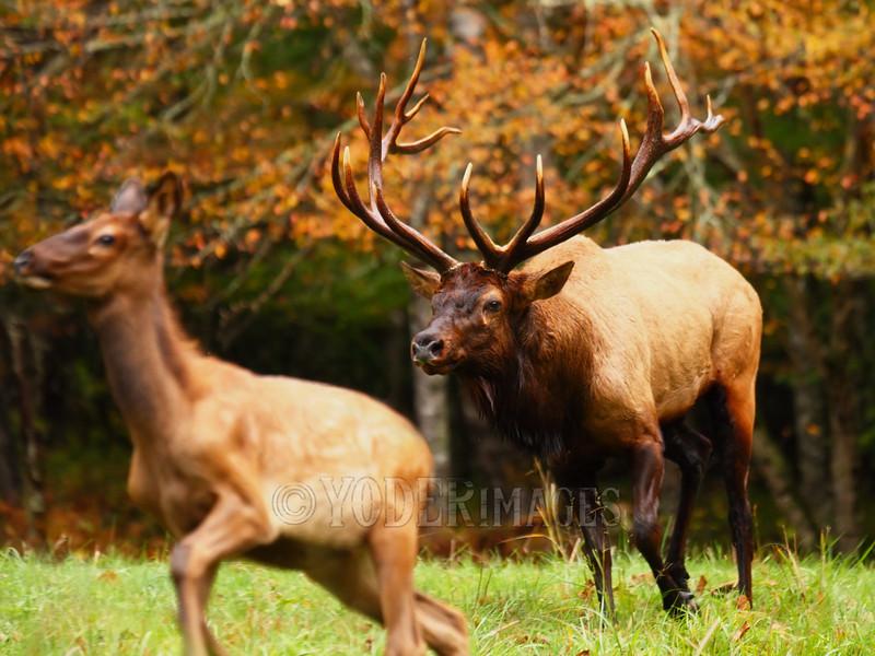 North American Elk (Cervus elaphus)<br /> Tennessee Wildlife Calendar, October 2014