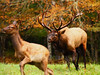 North American Elk (Cervus elaphus)<br /> Tennessee Wildlife Calendar, October 2014