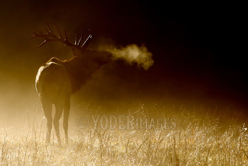 North American Elk (Cervus elaphus)<br /> Tennessee Wildlife Calendar, October 2011