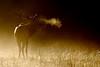 North American Elk (Cervus elaphus)<br /> Tennessee Wildlife Calendar, October 2011