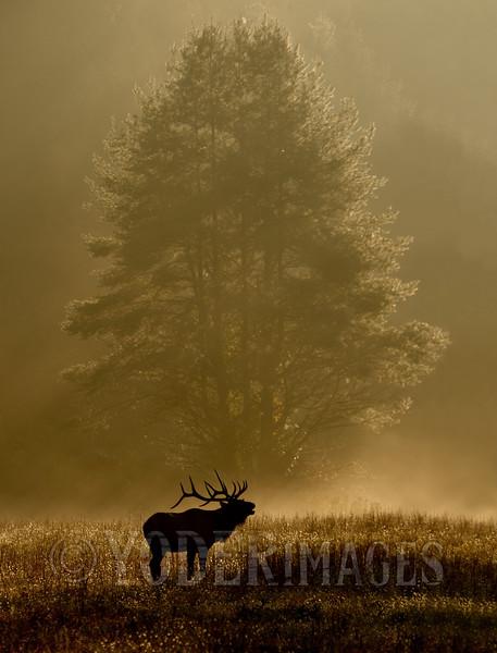 North American Elk (Cervus elaphus)<br /> Second Plase, Professional Division, 2012 Wilderness Wildlife Week Photo Contest<br /> Judges Choice, 2012 Wilderness Wildlife Week Photo Contest<br /> Tennessee Wildlife Cover, Winter 2013