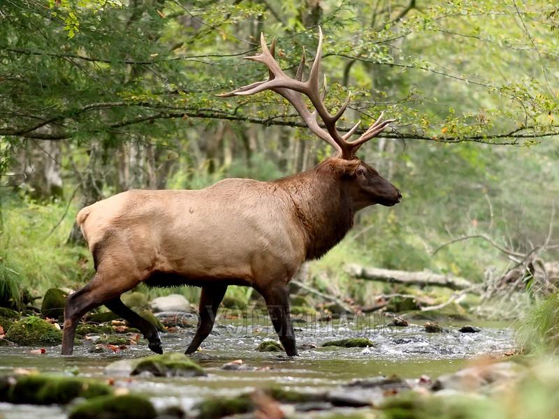 North American Elk (Cervus elaphus)<br /> Featured in Great Smoky Mountains Association Calendar, August 2017