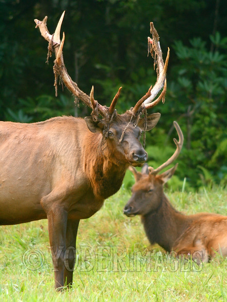 North American Elk (Cervus elaphus)<br /> This 6x6 bull is in the process of shedding the velvet from his antlers.