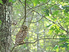 Barred Owl (Strix varia)<br /> Cades Cove, Great Smoky Mountains National Park