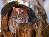 Eastern Screech Owl (Megascops asio), Red-Morph<br /> Cades Cove, Great Smoky Mountains National Park