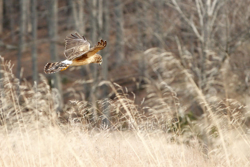 Female Northern Harrier (Circus cyaneus)<br /> Cades Cove, Great Smoky Mountains National Park