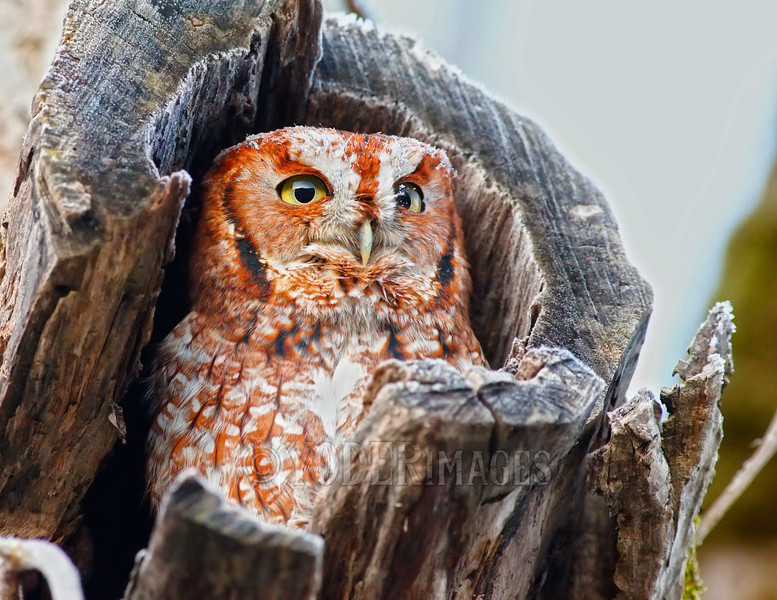 Eastern Screech Owl (Megascops asio), Red-Morph<br /> Cades Cove, Great Smoky Mountains National Park<br /> Featured in Tennessee Wildlife Calendar, November 2015
