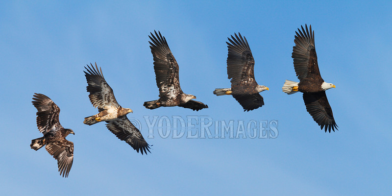 Juvenile Bald Eagle (Haliaeetus leucocephalus)<br /> This 5-shot photomerge roughly demonstrates the 5-year progression in plumage from juvenile to adult.