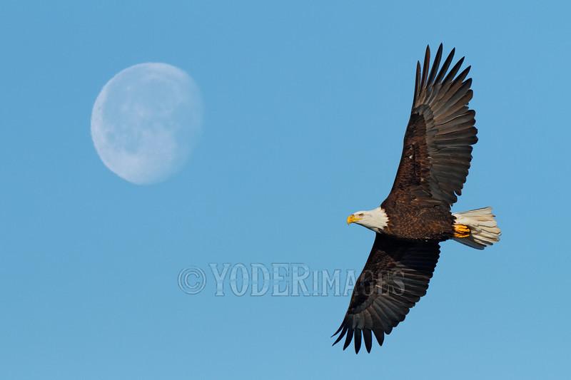 Bald Eagle (Haliaeetus leucocephalus)<br /> 2-shot photomerge