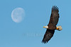 Bald Eagle (Haliaeetus leucocephalus)<br /> 2-shot photomerge