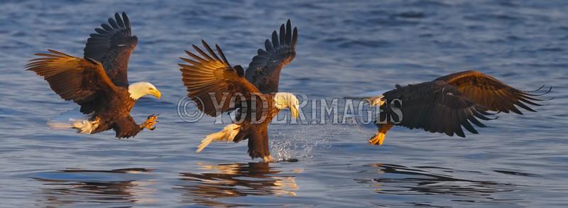 Bald Eagle (Haliaeetus leucocephalus)<br /> 3-shot photomerge