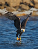 Bald Eagle (Haliaeetus leucocephalus)<br /> Featured on cover of Tennessee Wildlife, Winter 2015-16
