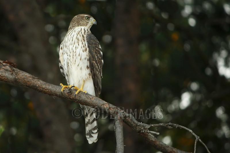Juvenile Cooper's Hawk (Accipiter cooperii)<br /> Blount County, Tennessee