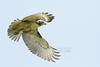 Red-Tailed Hawk (Buteo jamaicensis)<br /> Cass County, Indiana