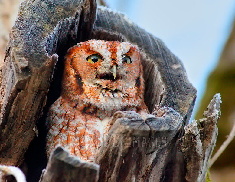 Eastern Screech Owl (Megascops asio), Red-Morph<br /> Cades Cove, Great Smoky Mountains National Park<br /> Featured in Kentucky Afield Calendar, March 2016