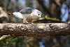 Cooper's Hawk (Accipiter cooperii)<br /> Blount  County, Tennessee