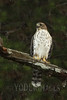 Juvenile Cooper's Hawk (Accipiter cooperii)<br /> Blount County, Tennessee