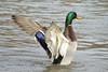 Drake Mallard Duck (Anas platyrhynchos)