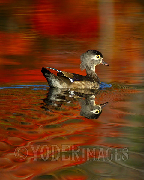 Female Wood Duck (Aix sponsa)
