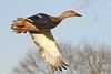 Hen Mallard Duck (Anas platyrhynchos)