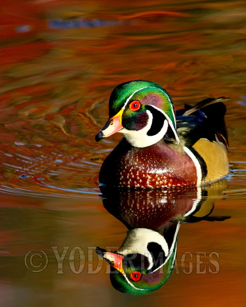 Male Wood Duck (Aix sponsa) - Breeding plumage<br /> Tennessee Wildlife Cover, Winter 2012