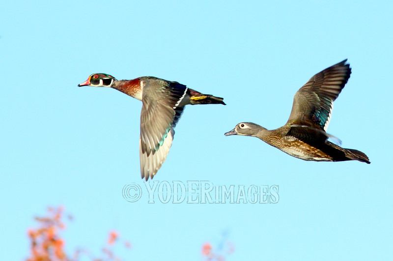 Male and Female Wood Duck in flight