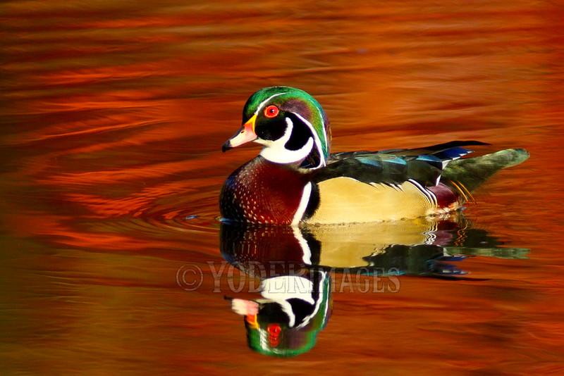 Male Wood Duck (Aix sponsa) - Breeding plumage