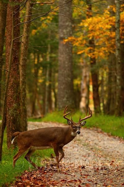 Whitetail deer (Odocoileus virginianus)