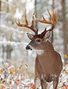 Whitetail deer (Odocoileus virginianus)