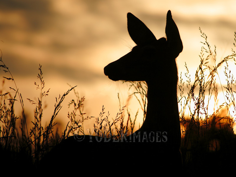 """Whitetail deer (Odocoileus virginianus)<br /> A young """"button"""" buck stands silhouetted against the setting sun."""