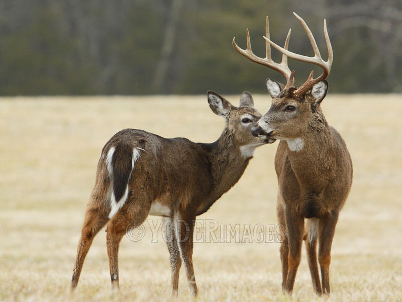Whitetail deer (Odocoileus virginianus)<br /> A 9-point buck gets a kiss on the cheak from a doe.