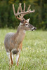 Whitetail deer (Odocoileus virginianus)<br /> A 9-point buck in velvet.