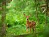 Whitetail deer fawn (Odocoileus virginianus)<br /> Smokies Life Cover, Spring 2012