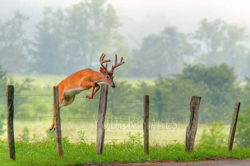 Whitetail deer (Odocoileus virginianus)<br /> Great Smoky Mountains Association Calendar, June 2013