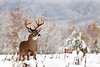 Whitetail deer (Odocoileus virginianus)<br /> Featured in Great Smoky Mountains Association Calendar, January 2017