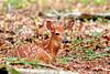 Whitetail deer fawn (Odocoileus virginianus)