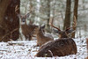 Whitetail deer (Odocoileus virginianus)<br /> Tennessee Wildlife Calendar, December 2014
