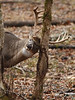 Whitetail deer (Odocoileus virginianus)<br /> A 10-point buck makes a rub on a tree during the rut.