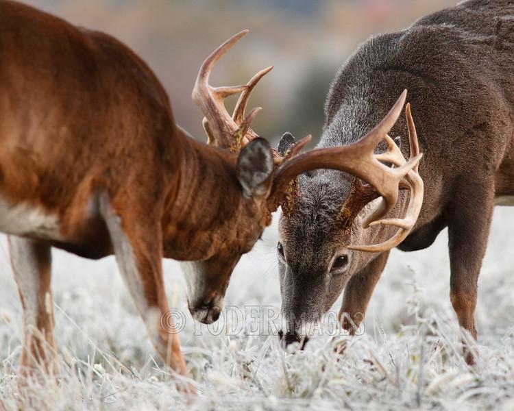 Whitetail deer (Odocoileus virginianus)<br /> Kentucky Afield Calendar, November 2015