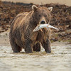 Katmai Brown Bear with Salmon