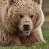 Katmai Brown Bear Munchin Grass