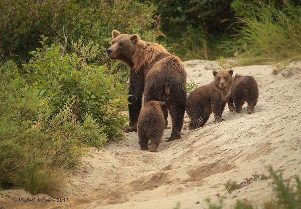 Brown Bears/Grizzlies