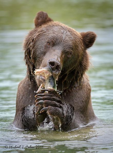 Katmai Brown Bear Munchin on Salmon