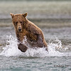 Katmai Brown Bear Fishing